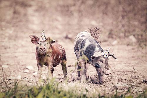 Varkens met feesthoedje | Gratisography